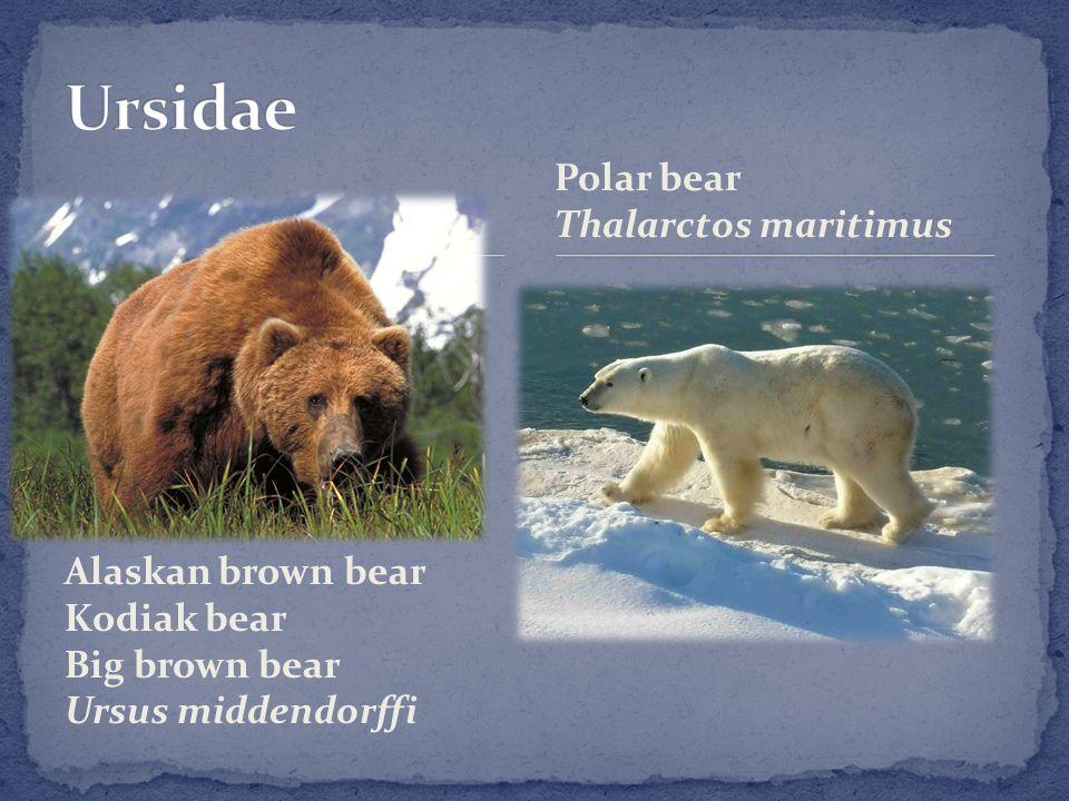 Alaskan brown bear Kodiak bear Big brown bear Ursus middendorffi Polar bear Thalarctos maritimus