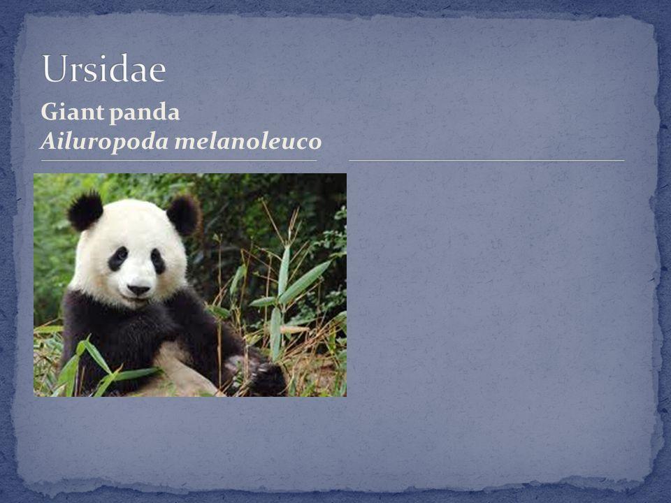 Giant panda Ailuropoda melanoleuco
