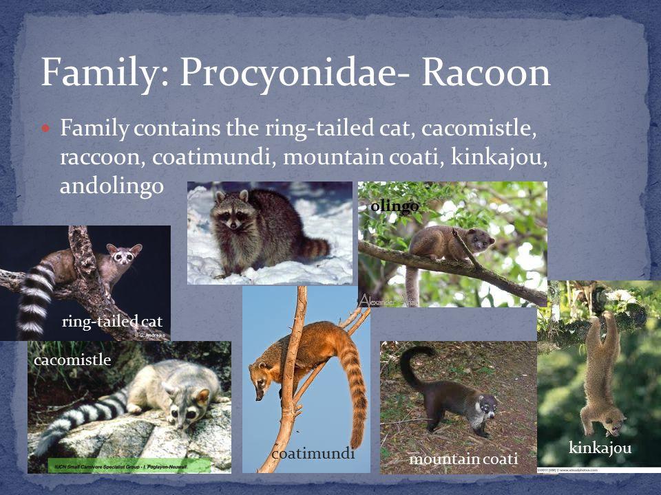Family contains the ring-tailed cat, cacomistle, raccoon, coatimundi, mountain coati, kinkajou, andolingo ring-tailed cat cacomistle coatimundi mountain coati kinkajou olingo