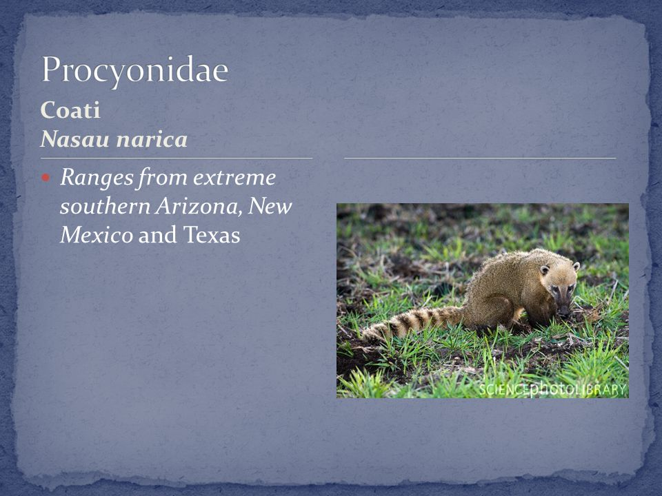 Coati Nasau narica Ranges from extreme southern Arizona, New Mexico and Texas