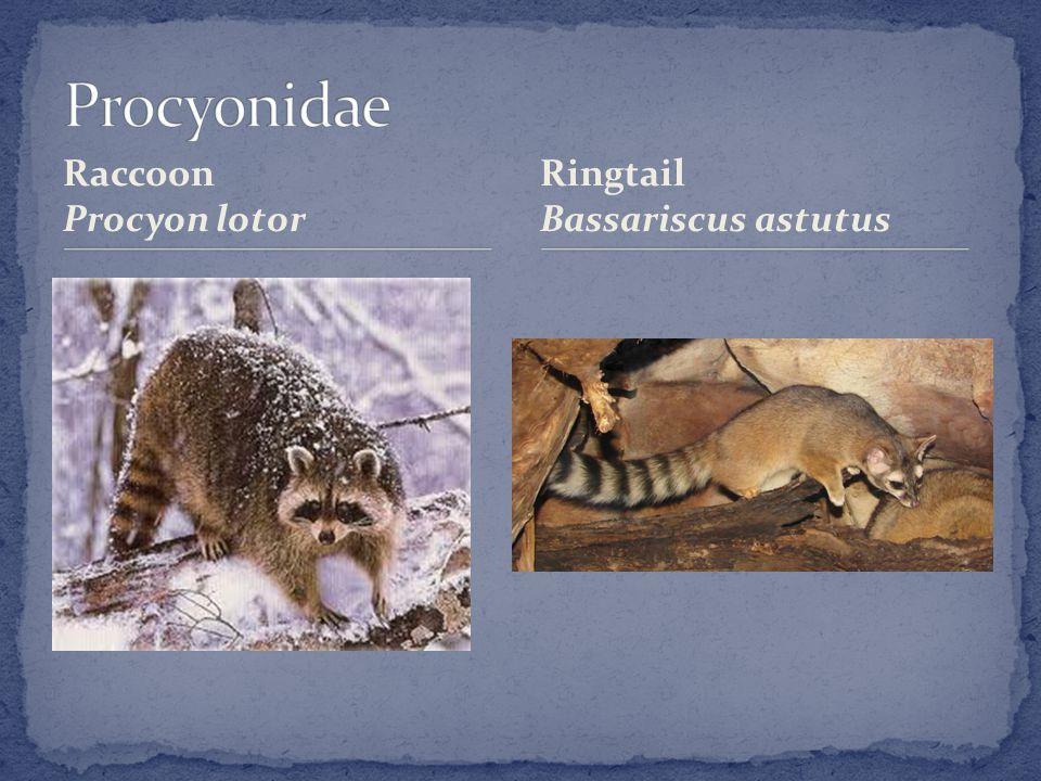 Raccoon Procyon lotor Ringtail Bassariscus astutus