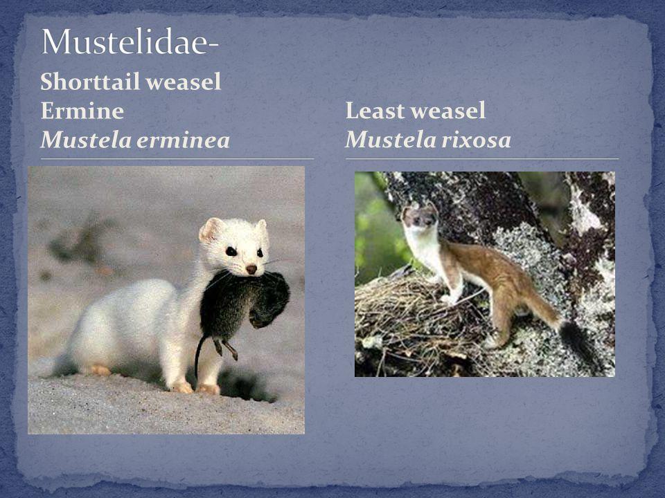 Shorttail weasel Ermine Mustela erminea Least weasel Mustela rixosa