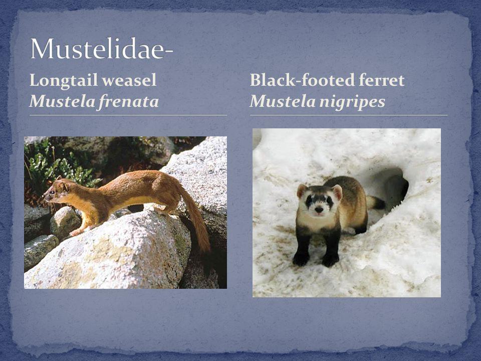Longtail weasel Mustela frenata Black-footed ferret Mustela nigripes