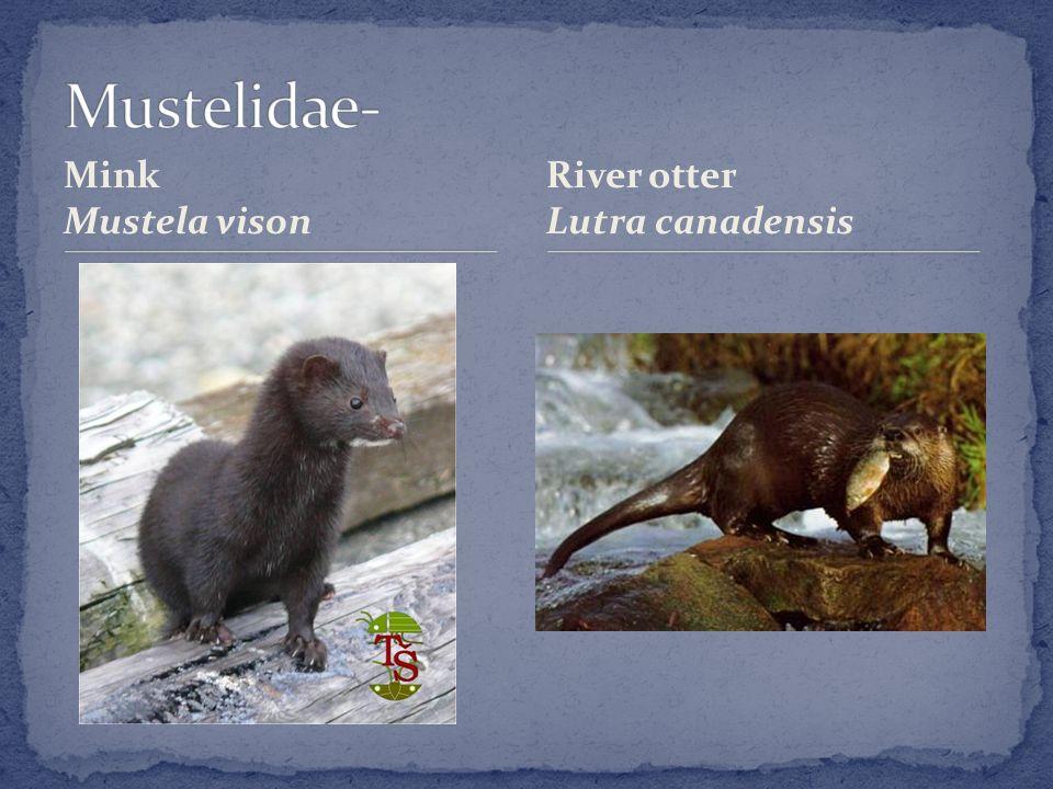 Mink Mustela vison River otter Lutra canadensis