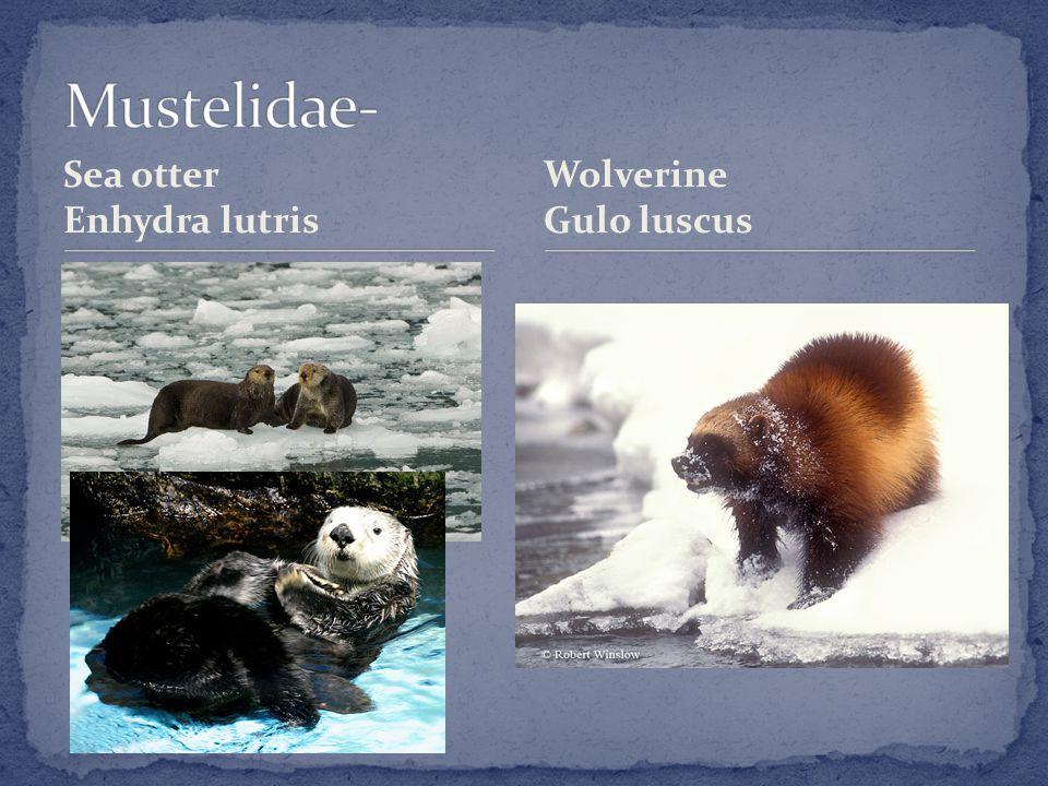 Sea otter Enhydra lutris Wolverine Gulo luscus