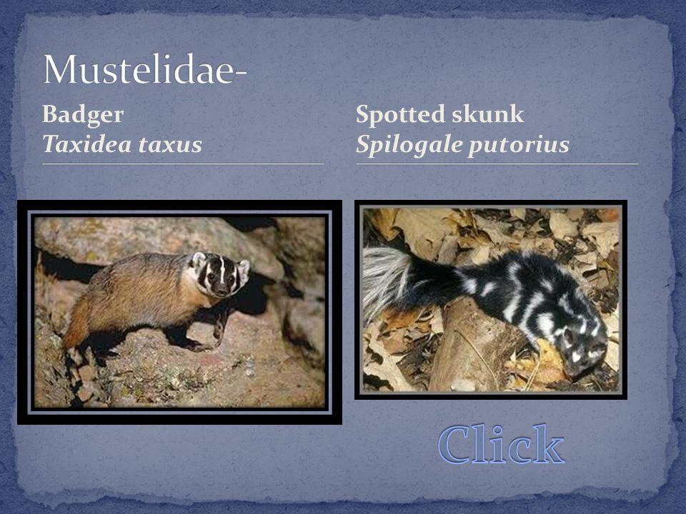 Badger Taxidea taxus Spotted skunk Spilogale putorius