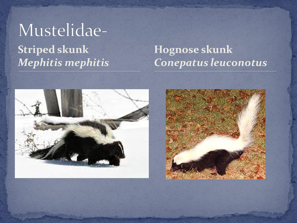 Striped skunk Mephitis mephitis Hognose skunk Conepatus leuconotus