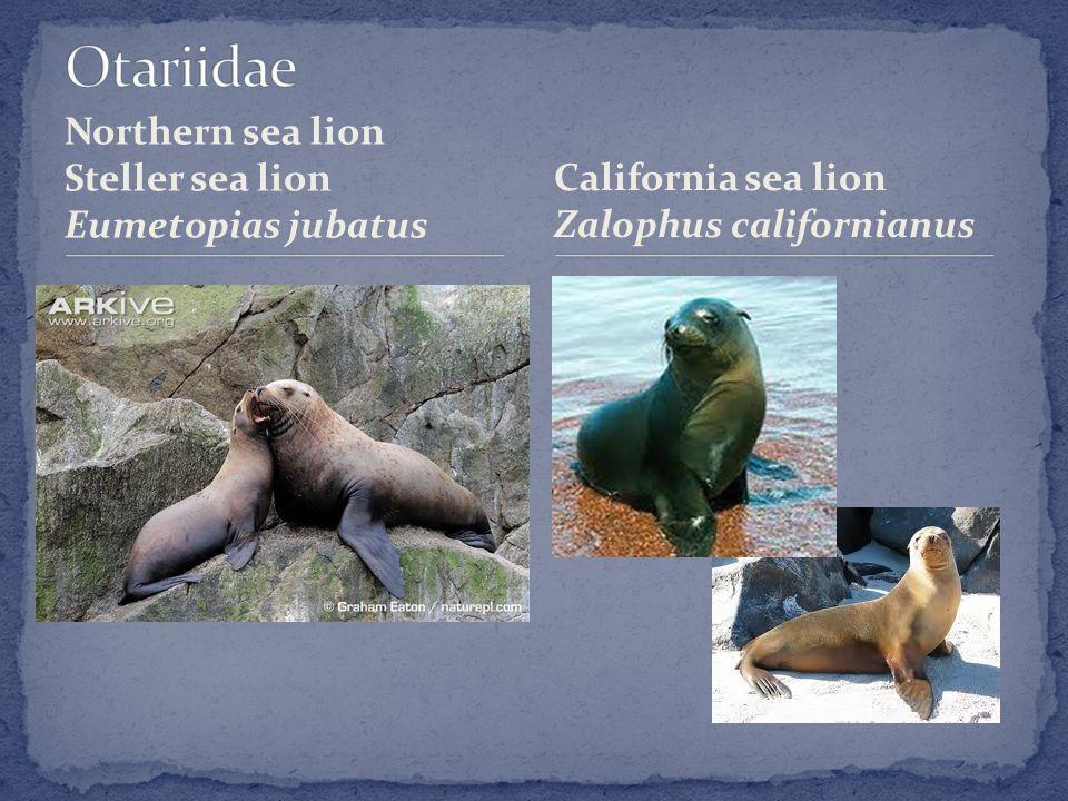 Northern sea lion Steller sea lion Eumetopias jubatus California sea lion Zalophus californianus