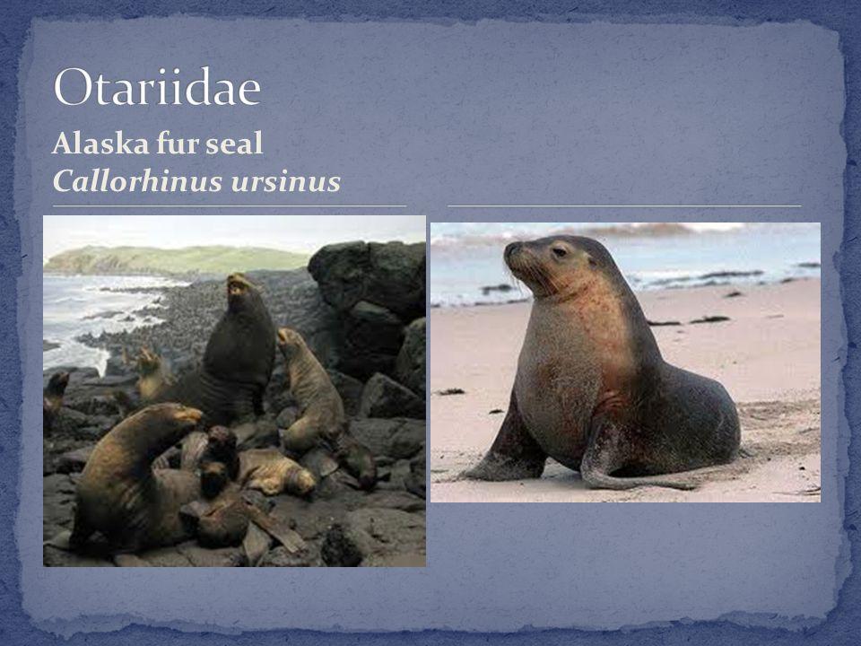 Alaska fur seal Callorhinus ursinus