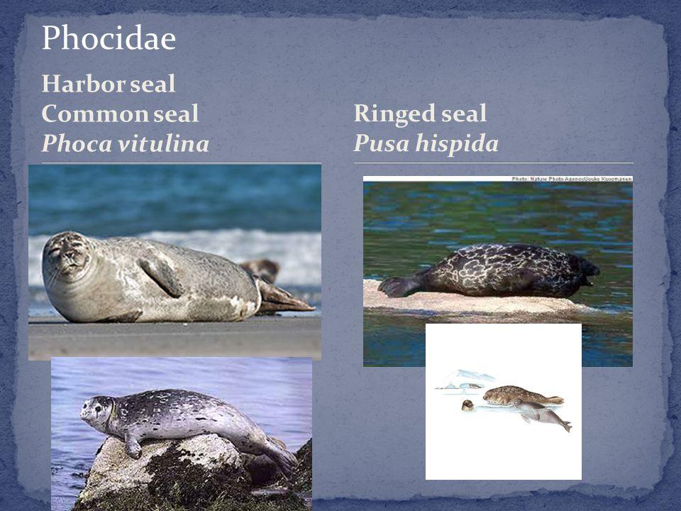Harbor seal Common seal Phoca vitulina Ringed seal Pusa hispida