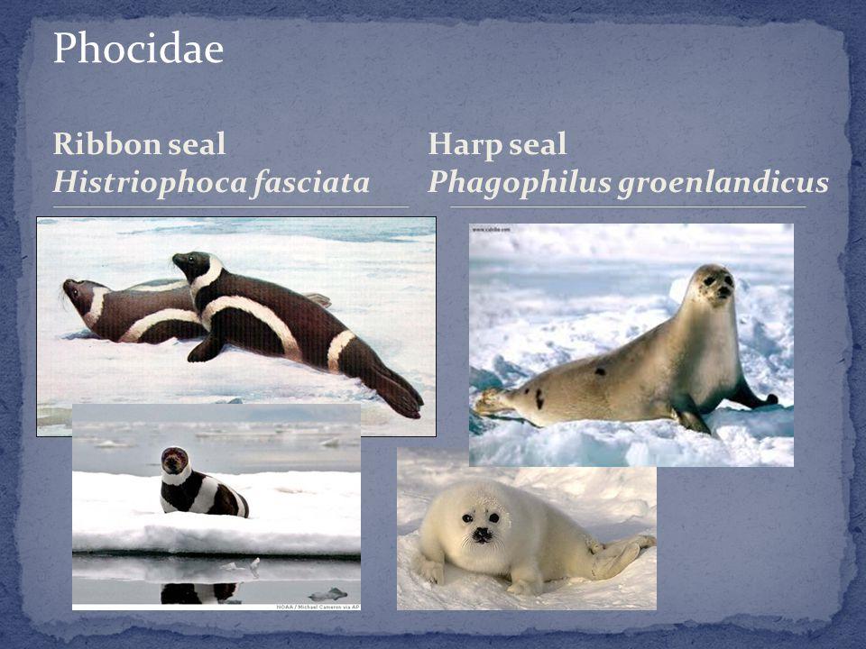 Ribbon seal Histriophoca fasciata Harp seal Phagophilus groenlandicus