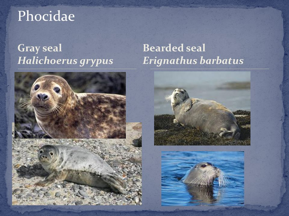 Gray seal Halichoerus grypus Bearded seal Erignathus barbatus