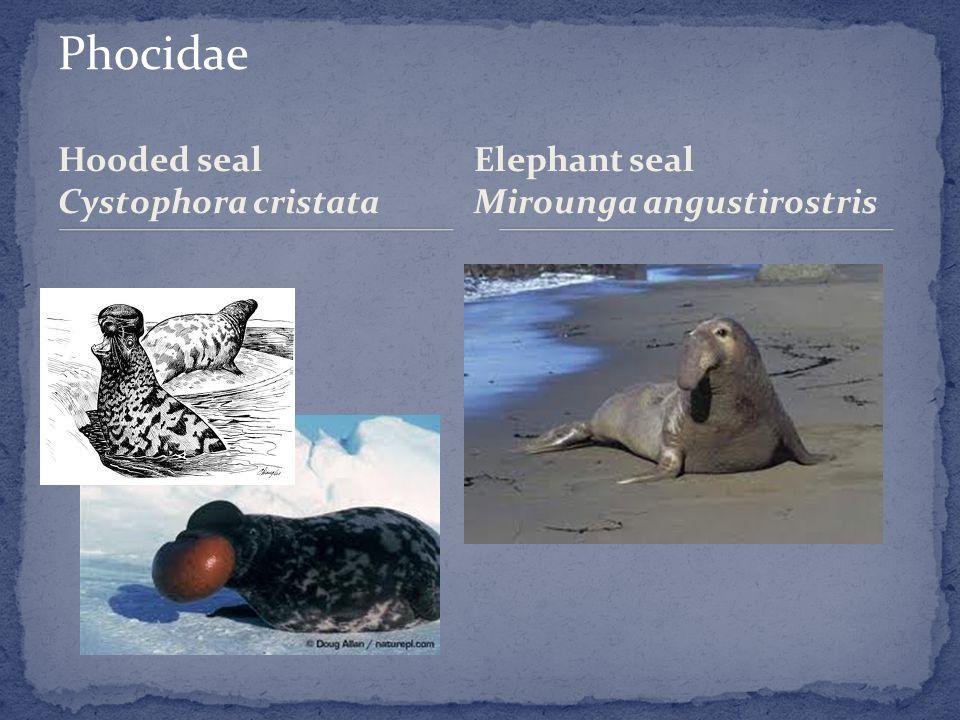 Hooded seal Cystophora cristata Elephant seal Mirounga angustirostris