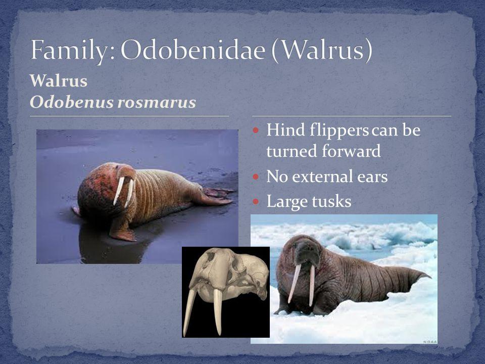 Walrus Odobenus rosmarus Hind flippers can be turned forward No external ears Large tusks