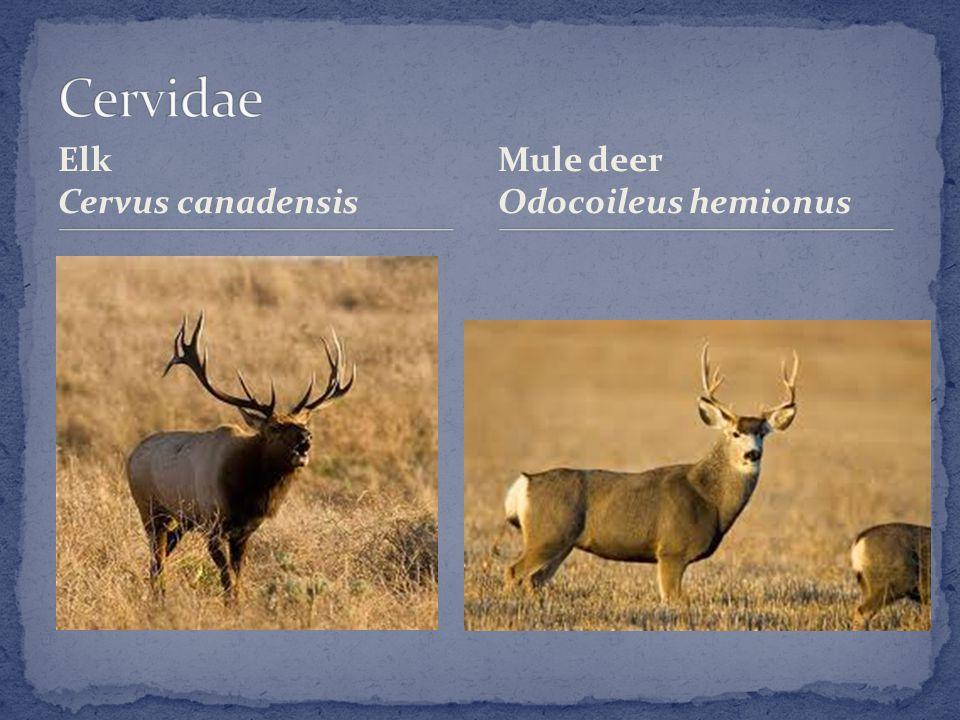 Elk Cervus canadensis Mule deer Odocoileus hemionus