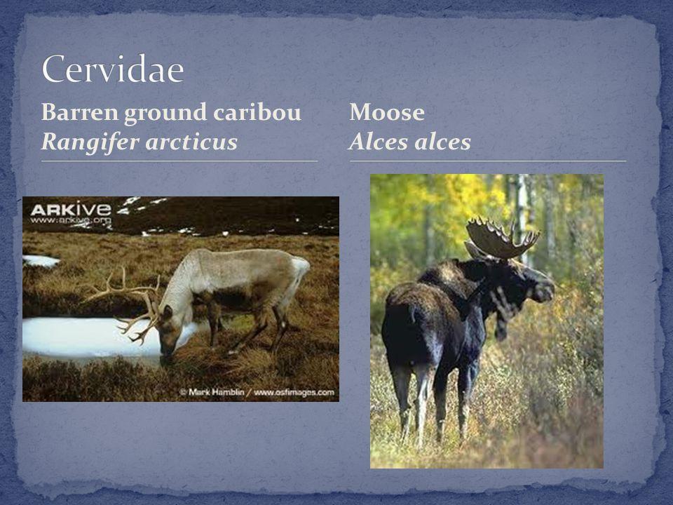 Barren ground caribou Rangifer arcticus Moose Alces alces