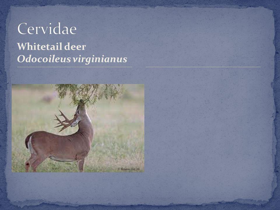 Whitetail deer Odocoileus virginianus