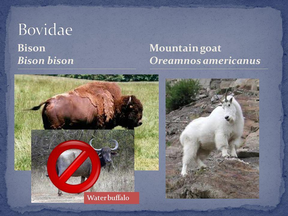 Bison Bison bison Mountain goat Oreamnos americanus Water buffalo