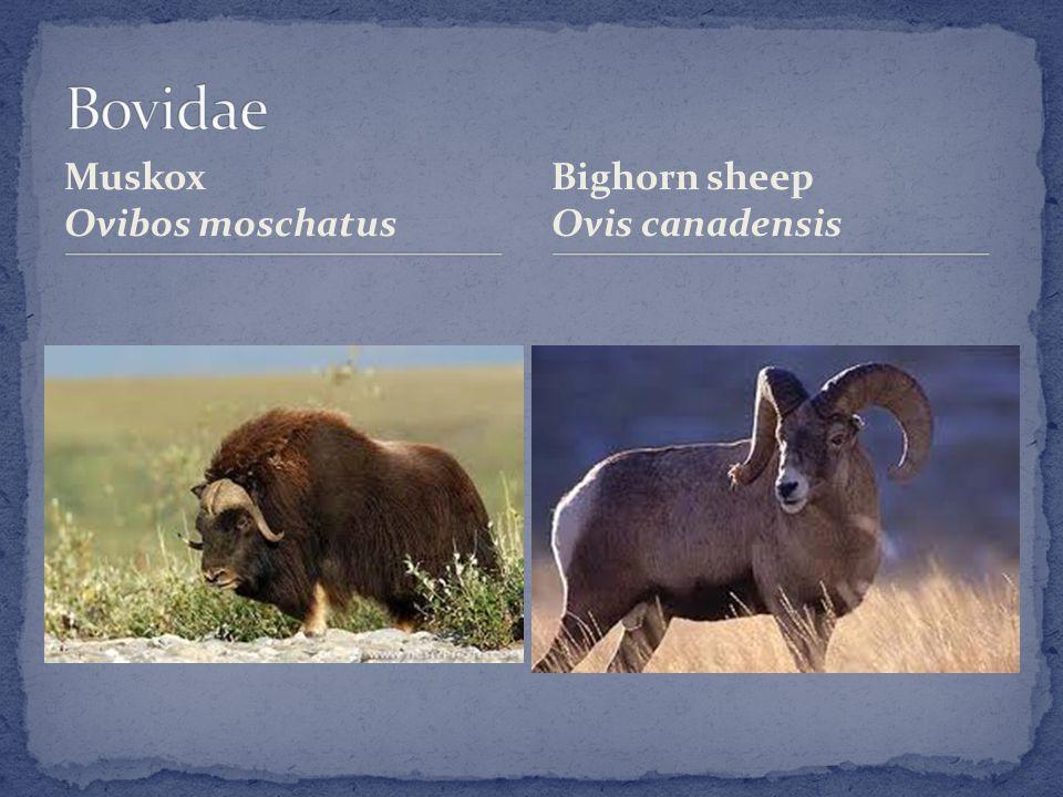 Muskox Ovibos moschatus Bighorn sheep Ovis canadensis