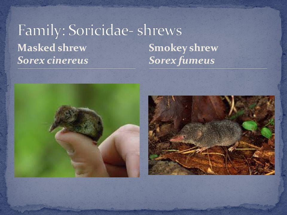 Masked shrew Sorex cinereus Smokey shrew Sorex fumeus