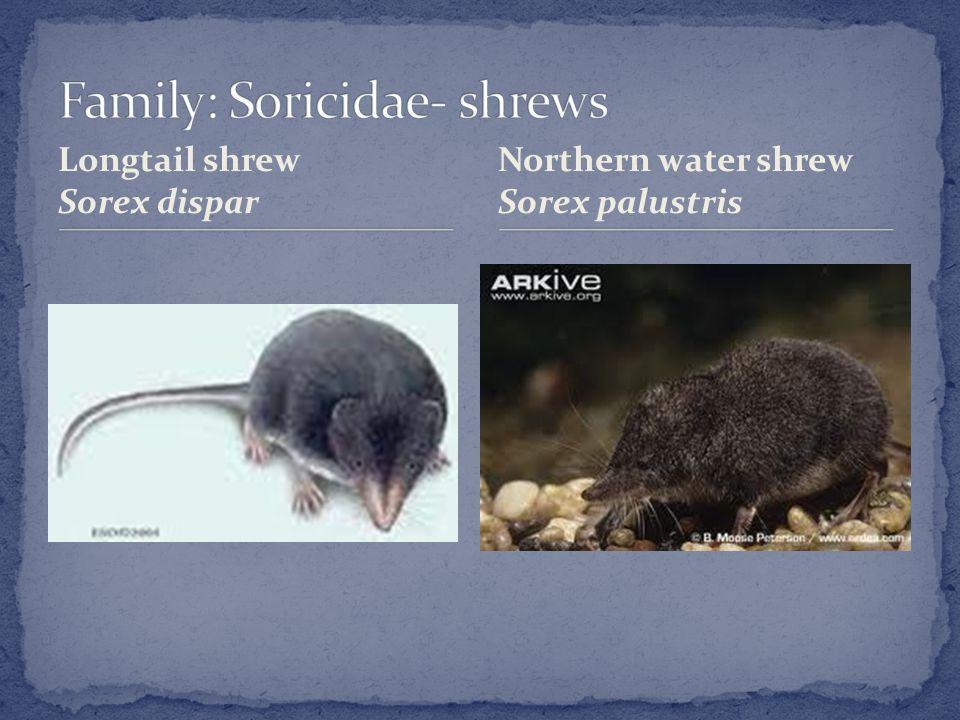 Longtail shrew Sorex dispar Northern water shrew Sorex palustris