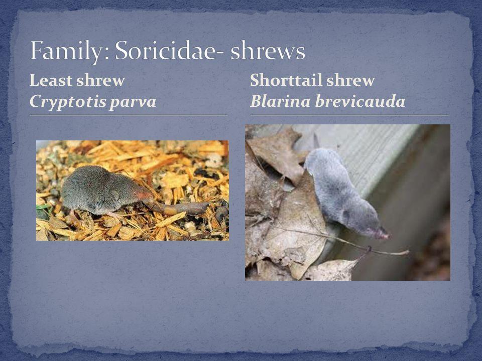 Least shrew Cryptotis parva Shorttail shrew Blarina brevicauda