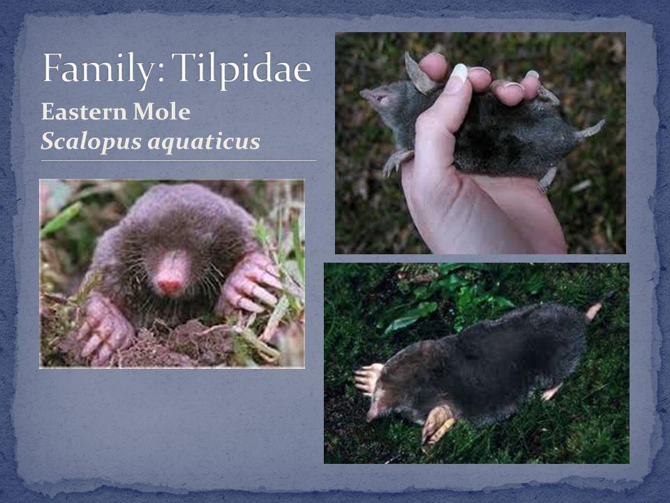 Eastern Mole Scalopus aquaticus