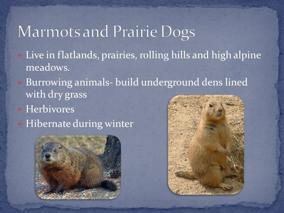 Live in flatlands, prairies, rolling hills and high alpine meadows.