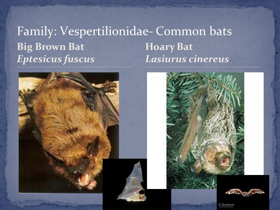 Big Brown Bat Eptesicus fuscus Hoary Bat Lasiurus cinereus
