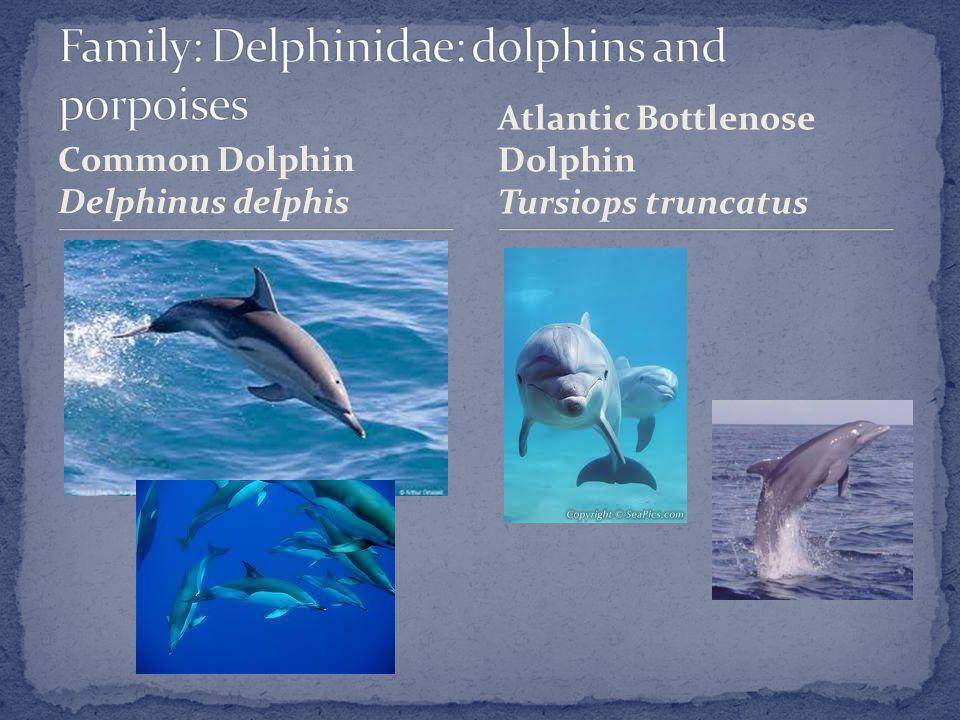 Common Dolphin Delphinus delphis Atlantic Bottlenose Dolphin Tursiops truncatus