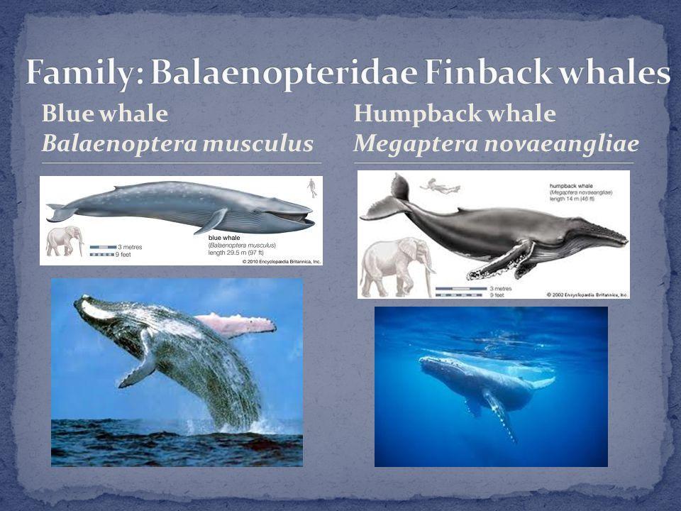 Blue whale Balaenoptera musculus Humpback whale Megaptera novaeangliae