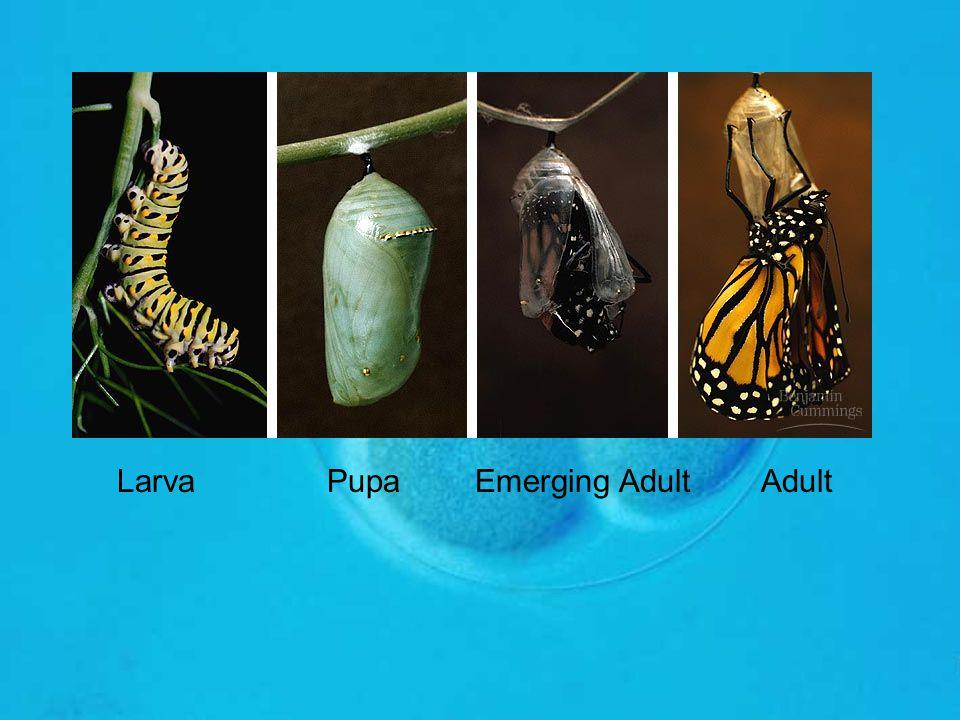 Larva Pupa Emerging Adult Adult