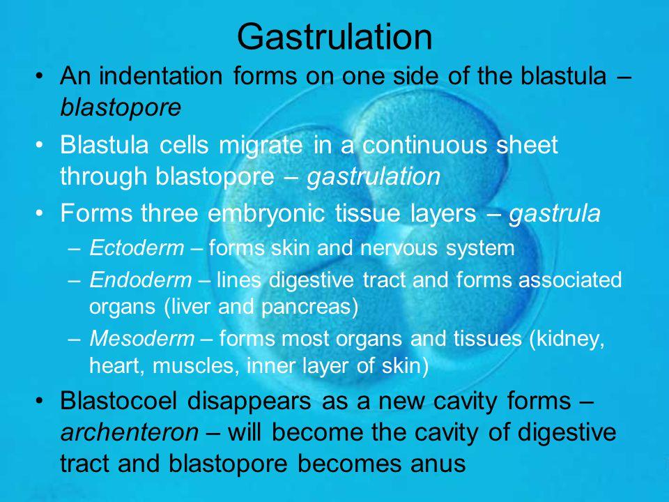 Gastrulation An indentation forms on one side of the blastula – blastopore Blastula cells migrate in a continuous sheet through blastopore – gastrulat