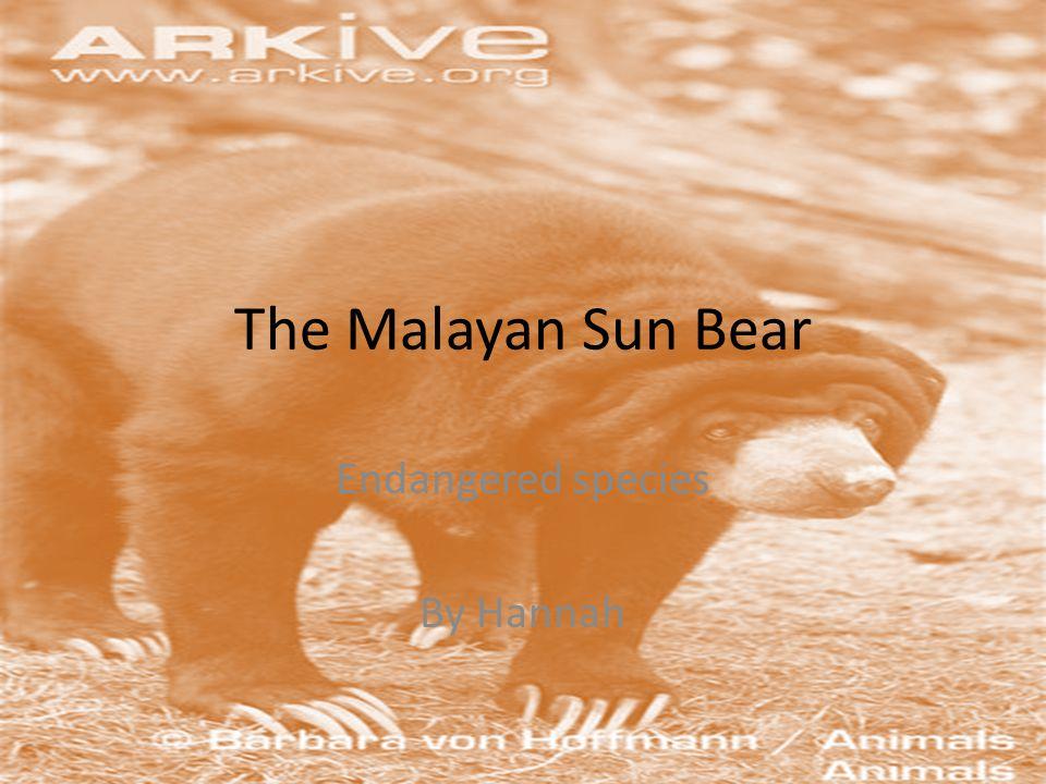 more Columbus zoo malayan sun bear enternet Zoo altanta sunbear enternet http://www.zooaltlanta.org/home/animals/mam mals/sun bear http://www.zooaltlanta.org/home/animals/mam mals/sun bear Stlzoo sunbear ehttp://www.stlzoo.org/animals/about the animals/mammals/carnivors/malayan sun bear/>