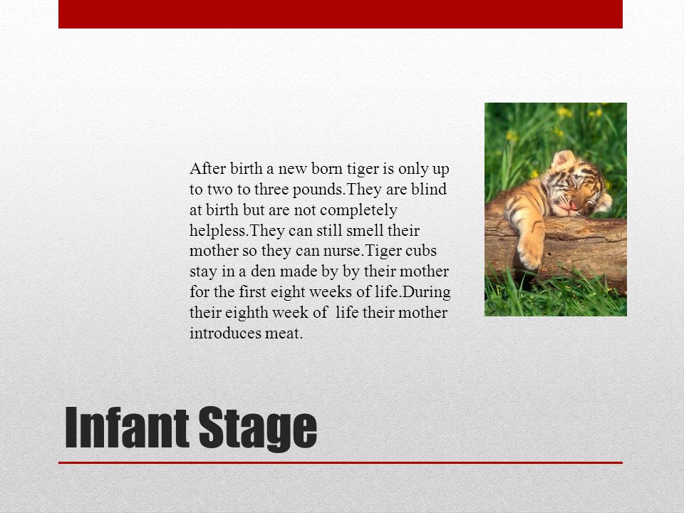 Child Stage Young cub under adult.