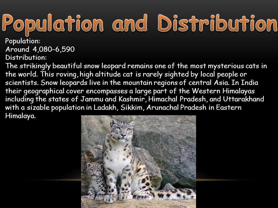Snow leopards prefer steep, rugged terrains with rocky outcrops and ravines.
