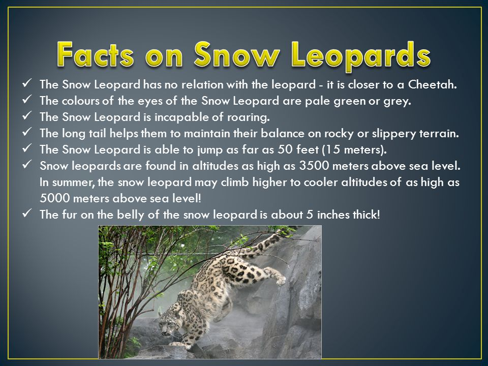 Hunting and diet Snow leopards are carnivores and actively hunt their prey.
