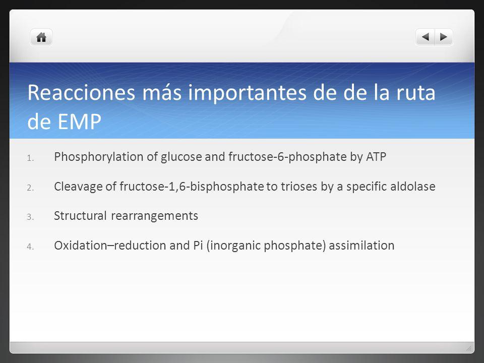 Reacciones más importantes de de la ruta de EMP 1. Phosphorylation of glucose and fructose-6-phosphate by ATP 2. Cleavage of fructose-1,6-bisphosphate