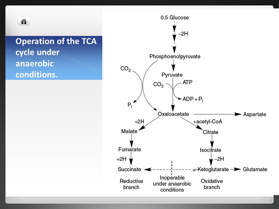 Operation of the TCA cycle under anaerobic conditions.