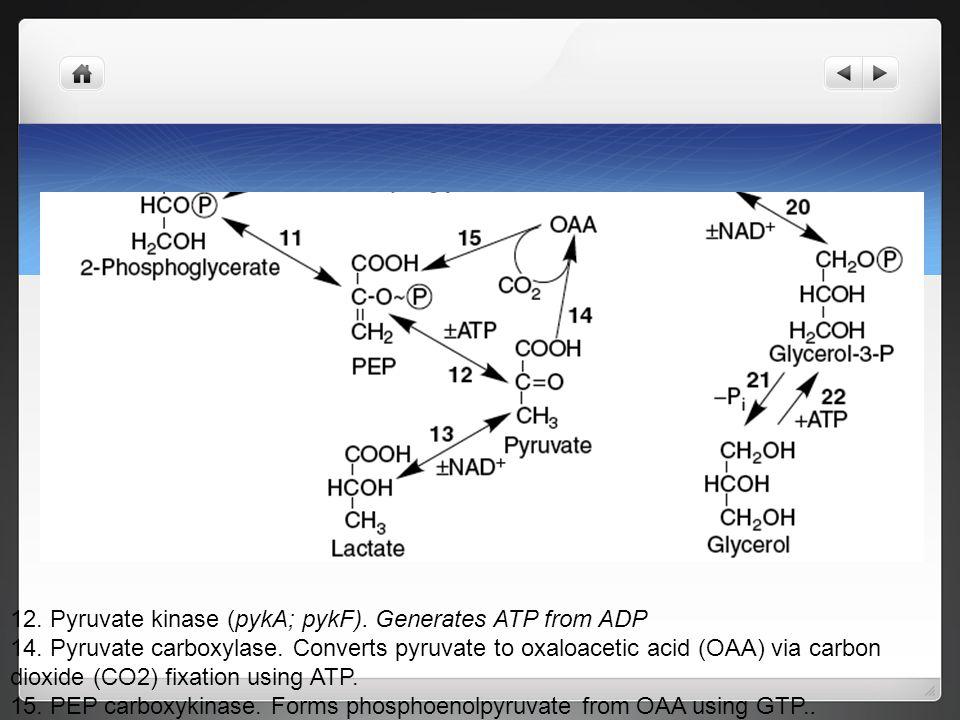 Pyruvate kinase is not reversible 12. Pyruvate kinase (pykA; pykF). Generates ATP from ADP 14. Pyruvate carboxylase. Converts pyruvate to oxaloacetic