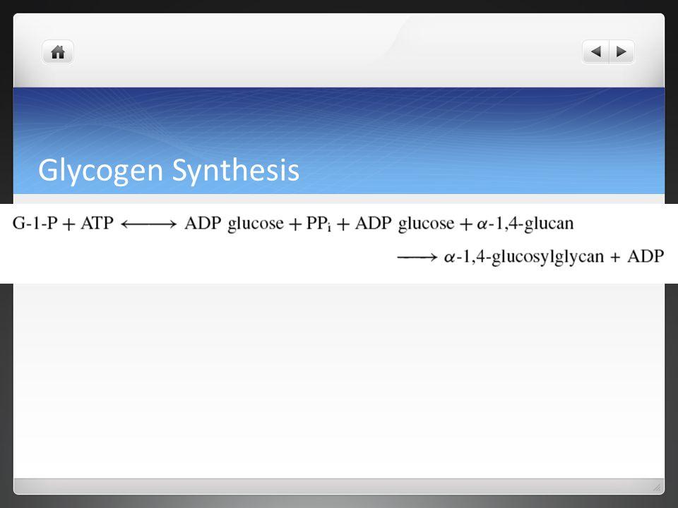 Glycogen Synthesis