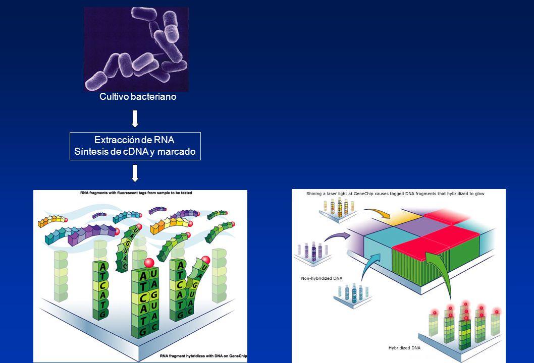 Cultivo bacteriano Extracción de RNA Síntesis de cDNA y marcado