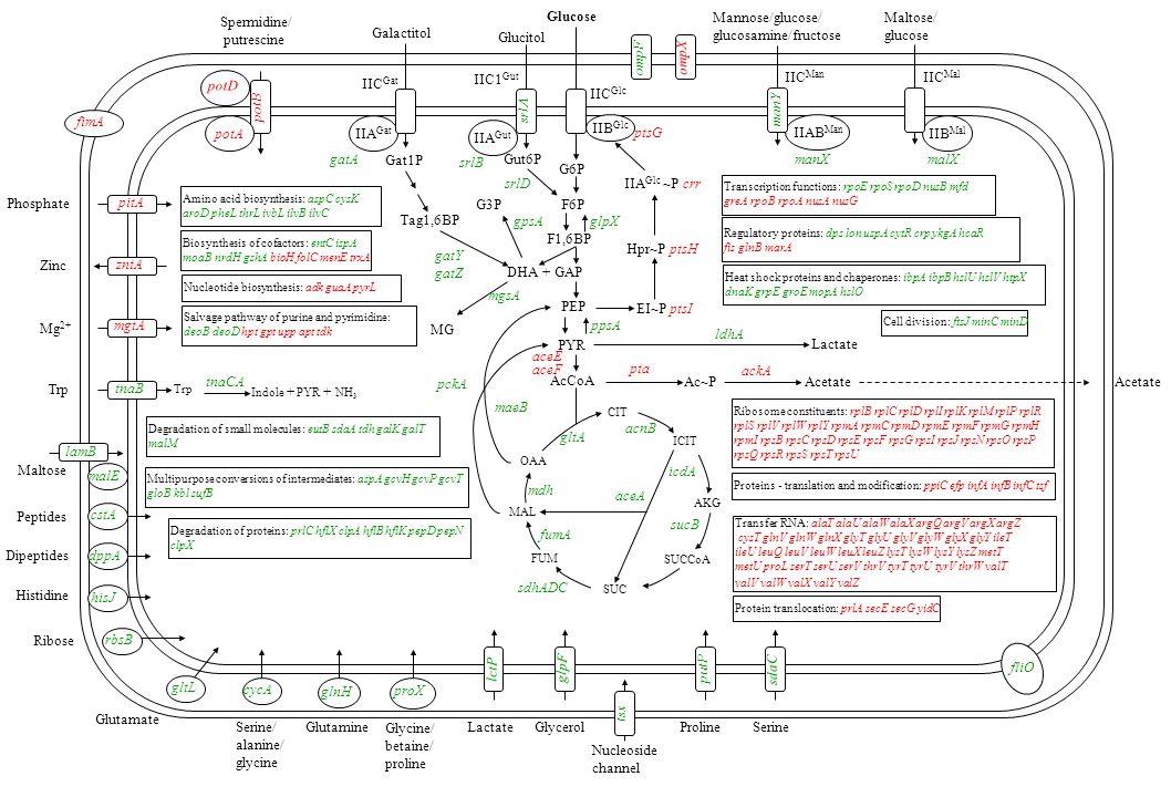 Glucose IIB Glc ptsG G6P F6P F1,6BP Hpr~P ptsH IIA Glc ~P crr IIC Glc potD Spermidine/ putrescine Phosphate zntA Zinc mgtA Mg 2+ ompF Trp tnaB Trp tnaCA Indole + PYR + NH 3 lamB Maltose Heat shock proteins and chaperones: ibpA ibpB hslU hslV htpX dnaK grpE groE mopA hslO Nucleotide biosynthesis: adk guaA pyrL Acetate Lactate malE dppA hisJ rbsB gltL Dipeptides Histidine Ribose Glutamate cycA Serine/ alanine/ glycine glnH Glutamine glpF Glycerol tsx Nucleoside channel putP Proline sdaC Serine IIAB Man IIC Man manX manY Mannose/glucose/ glucosamine/fructose IIB Mal IIC Mal malX Maltose/ glucose ompX potA PEP PYR EI~P ptsI ppsA AcCoA aceE aceF pckA pta Ac~P ackA Acetate OAA MAL CIT AKG SUCCoA SUC FUM ICIT gltA ldhA sucB sdhADC mdh fumA acnB icdA aceA maeB Salvage pathway of purine and pyrimidine: deoB deoD hpt gpt upp apt tdk glpX Regulatory proteins: dps lon uspA cytR crp ykgA hcaR fis glnB marA IIC1 Gut IIA Gut Glucitol Gut6P srlD srlB pitA gatY gatZ Tag1,6BP DHA + GAP Lactate lctP proX Glycine/ betaine/ proline Amino acid biosynthesis: aspC cysK aroD pheL thrL ivbL ilvB ilvC Biosynthesis of cofactors: entC ispA moaB nrdH gshA bioH folC menE trxA Transcription functions: rpoE rpoS rpoD nusB mfd greA rpoB rpoA nusA nusG IIA Gat gatA Galactitol Gat1P Ribosome constituents: rplB rplC rplD rplI rplK rplM rplP rplR rplS rplV rplW rplY rpmA rpmC rpmD rpmE rpmF rpmG rpmH rpmI rpsB rpsC rpsD rpsE rpsF rpsG rpsI rpsJ rpsN rpsO rpsP rpsQ rpsR rpsS rpsT rpsU Degradation of proteins: prlC hflX clpA hflB hflK pepD pepN clpX Protein translocation: prlA secE secG yidC Proteins - translation and modification: ppiC efp infA infB infC tsf fliO Cell division: ftsJ minC minD Multipurpose conversions of intermediates: aspA gcvH gcvP gcvT gloB kbl sufB mgsA MG Degradation of small molecules: eutB sdaA tdh galK galT malM fimA cstA Peptides potB IIC Gat srlA gpsA G3P Transfer RNA: alaT alaU alaW alaX argQ argV argX argZ cysT glnV glnW glnX glyT glyU glyV glyW glyX glyY ileT ileU leuQ leuV l