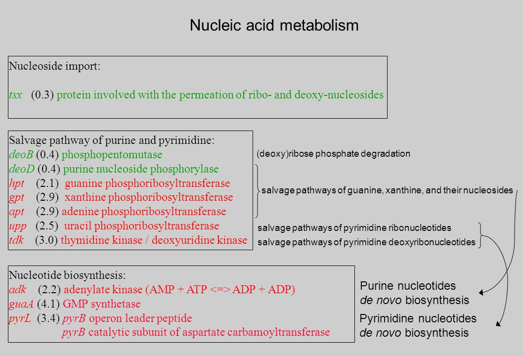 Nucleotide biosynthesis: adk (2.2) adenylate kinase (AMP + ATP ADP + ADP) guaA (4.1) GMP synthetase pyrL (3.4) pyrB operon leader peptide pyrB catalytic subunit of aspartate carbamoyltransferase Salvage pathway of purine and pyrimidine: deoB (0.4) phosphopentomutase deoD (0.4) purine nucleoside phosphorylase hpt (2.1) guanine phosphoribosyltransferase gpt (2.9) xanthine phosphoribosyltransferase apt (2.9) adenine phosphoribosyltransferase upp (2.5) uracil phosphoribosyltransferase tdk (3.0) thymidine kinase / deoxyuridine kinase Nucleic acid metabolism Purine nucleotides de novo biosynthesis Pyrimidine nucleotides de novo biosynthesis Nucleoside import: tsx (0.3) protein involved with the permeation of ribo- and deoxy-nucleosides salvage pathways of pyrimidine ribonucleotides (deoxy)ribose phosphate degradation salvage pathways of guanine, xanthine, and their nucleosides salvage pathways of pyrimidine deoxyribonucleotides