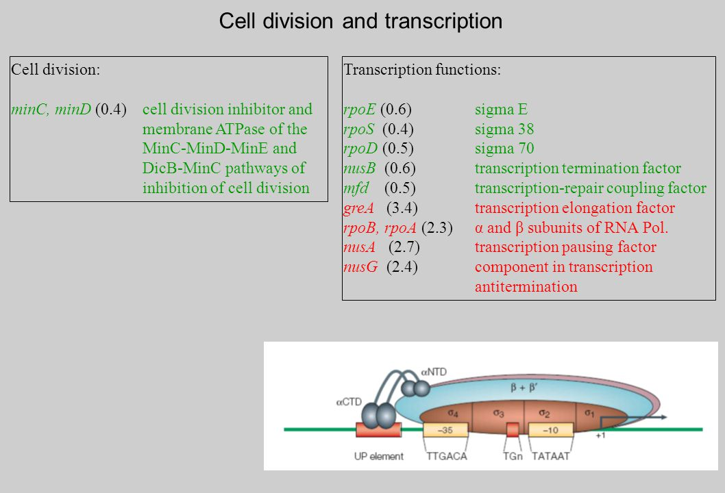 Transcription functions: rpoE (0.6)sigma E rpoS (0.4)sigma 38 rpoD (0.5)sigma 70 nusB (0.6)transcription termination factor mfd (0.5) transcription-repair coupling factor greA (3.4)transcription elongation factor rpoB, rpoA (2.3)α and β subunits of RNA Pol.