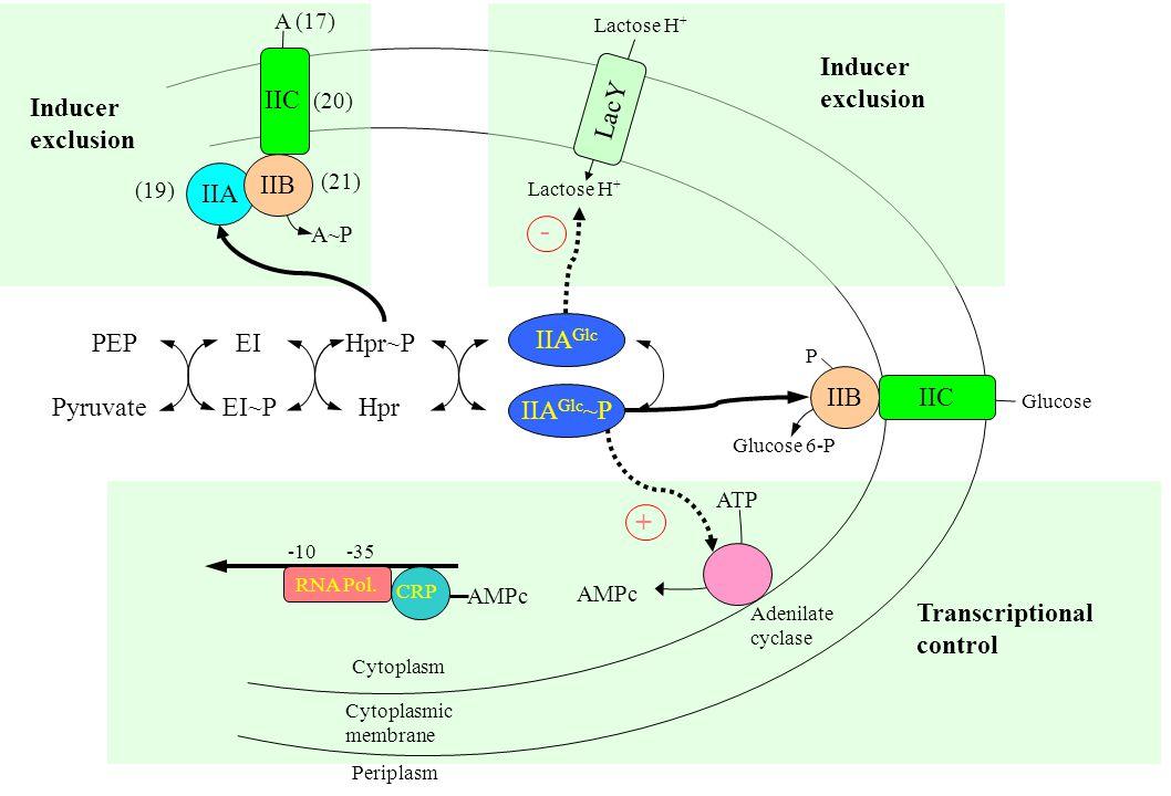 Transcriptional control Adenilate cyclase ATP AMPc -10 -35 RNA Pol.