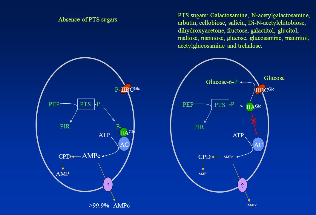 IIA Glc IIBC Glc PEP PIRPIR PTS -P-P AC ATP AMPc .