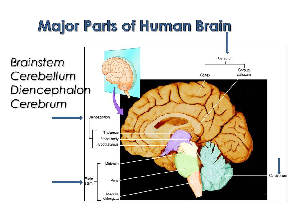BrainstemCerebellumDiencephalonCerebrum