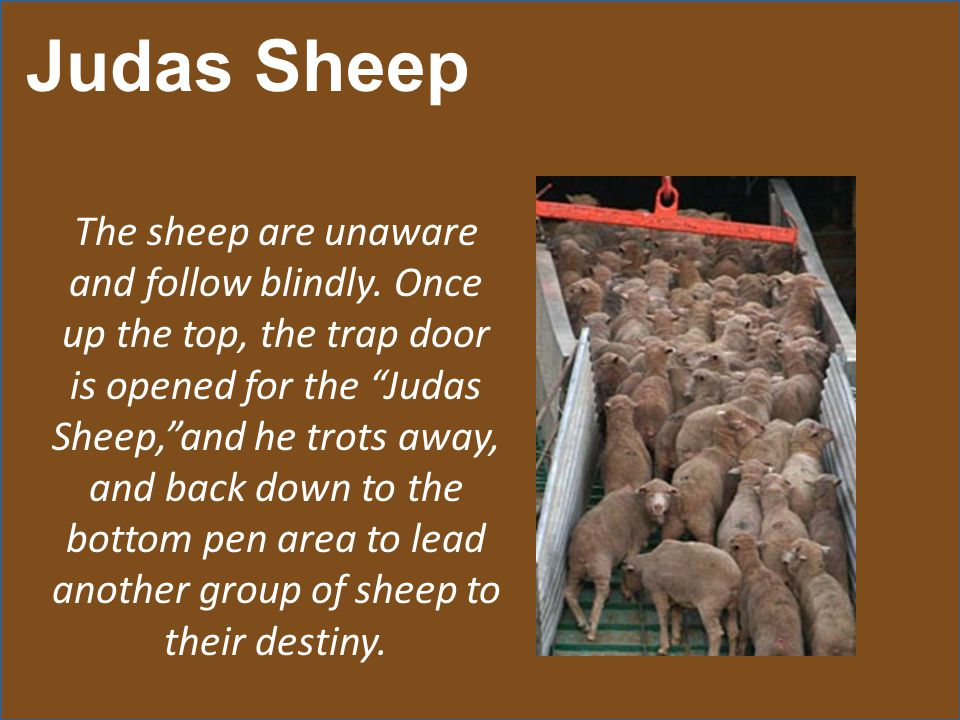 Judas Sheep The sheep are unaware and follow blindly.