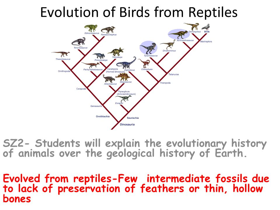 41 Avian Classification 28 orders 9600 species SZ1- Students will derive the phylogeny of animal taxa using informative characteristics SZ3- Students will compare form and function relationships within animal groups and across key taxa.